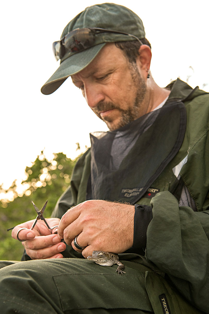 Mike Cherkiss holds a crocodile hatchling, a sign of a healthy Everglades. Oscar Hidalgo
