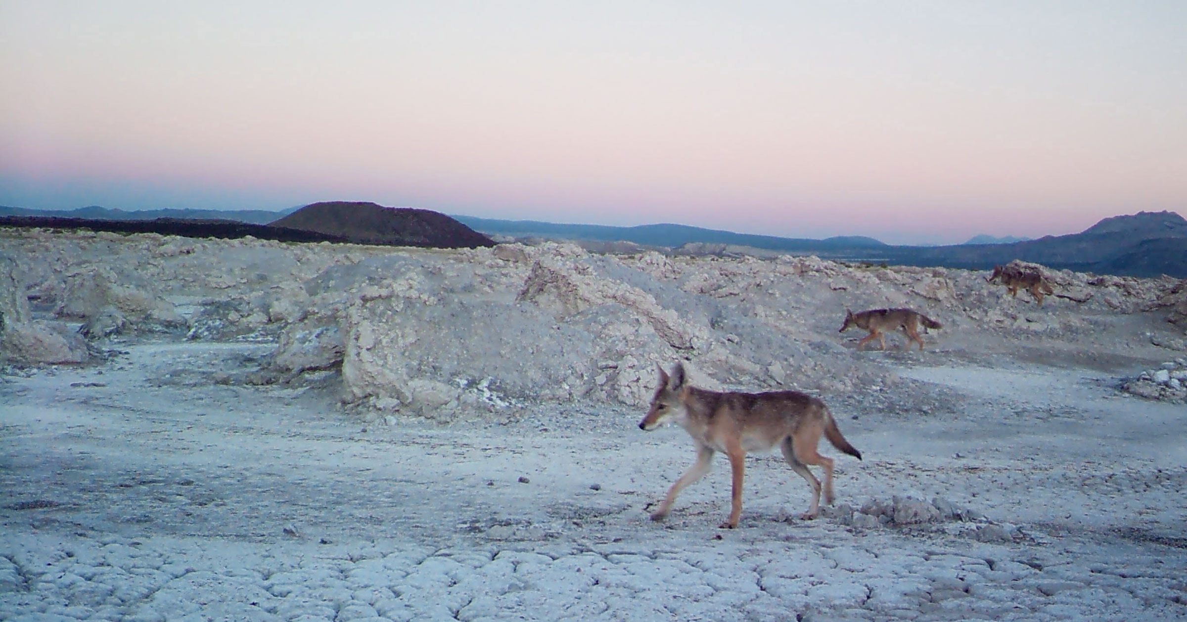 A camera trap recorded coyotes prowling near the Mono Lake landbridge. Courtesy of Mono Lake Committee