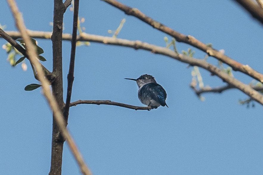 The team spots a Bee Hummingbird—the tiniest bird in the world—in Farallones. Greg Kahn