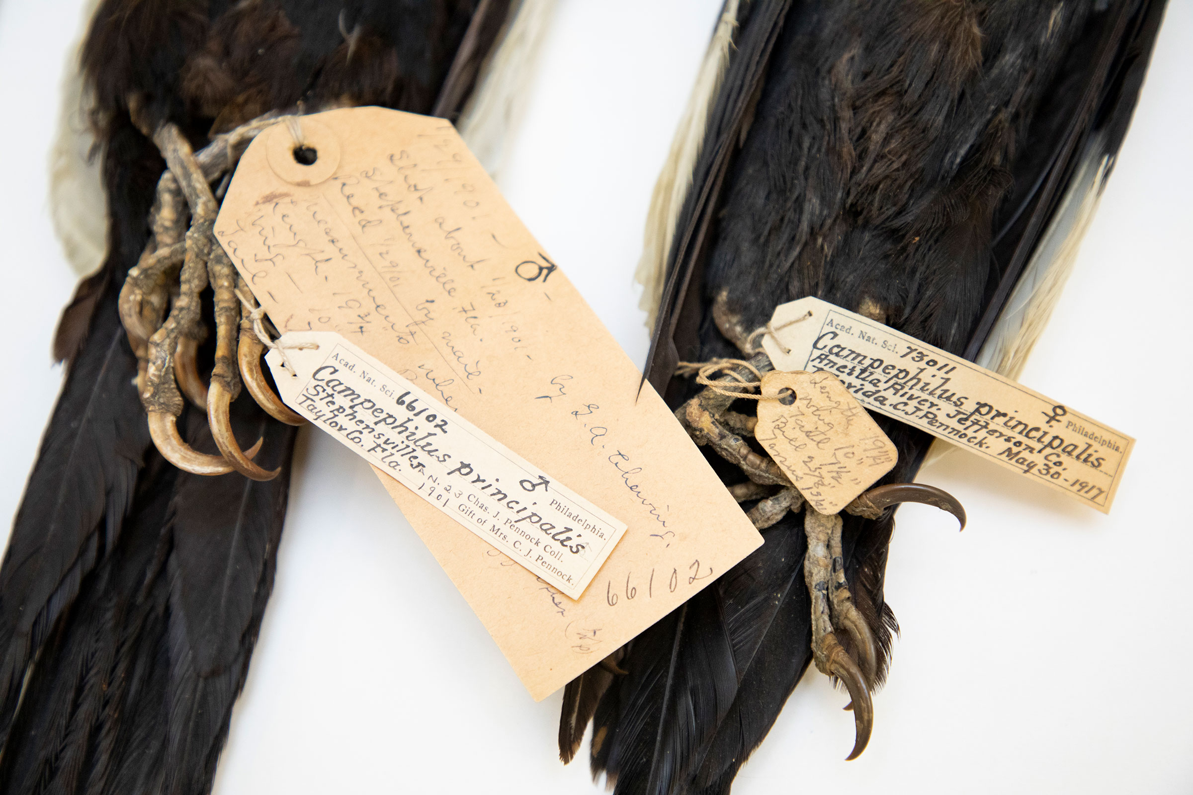 Ivory-billed Woodpeckers from Charles Pennock's collection at The Academy of Natural Sciences of Drexel University in Philadelphia, Pa.