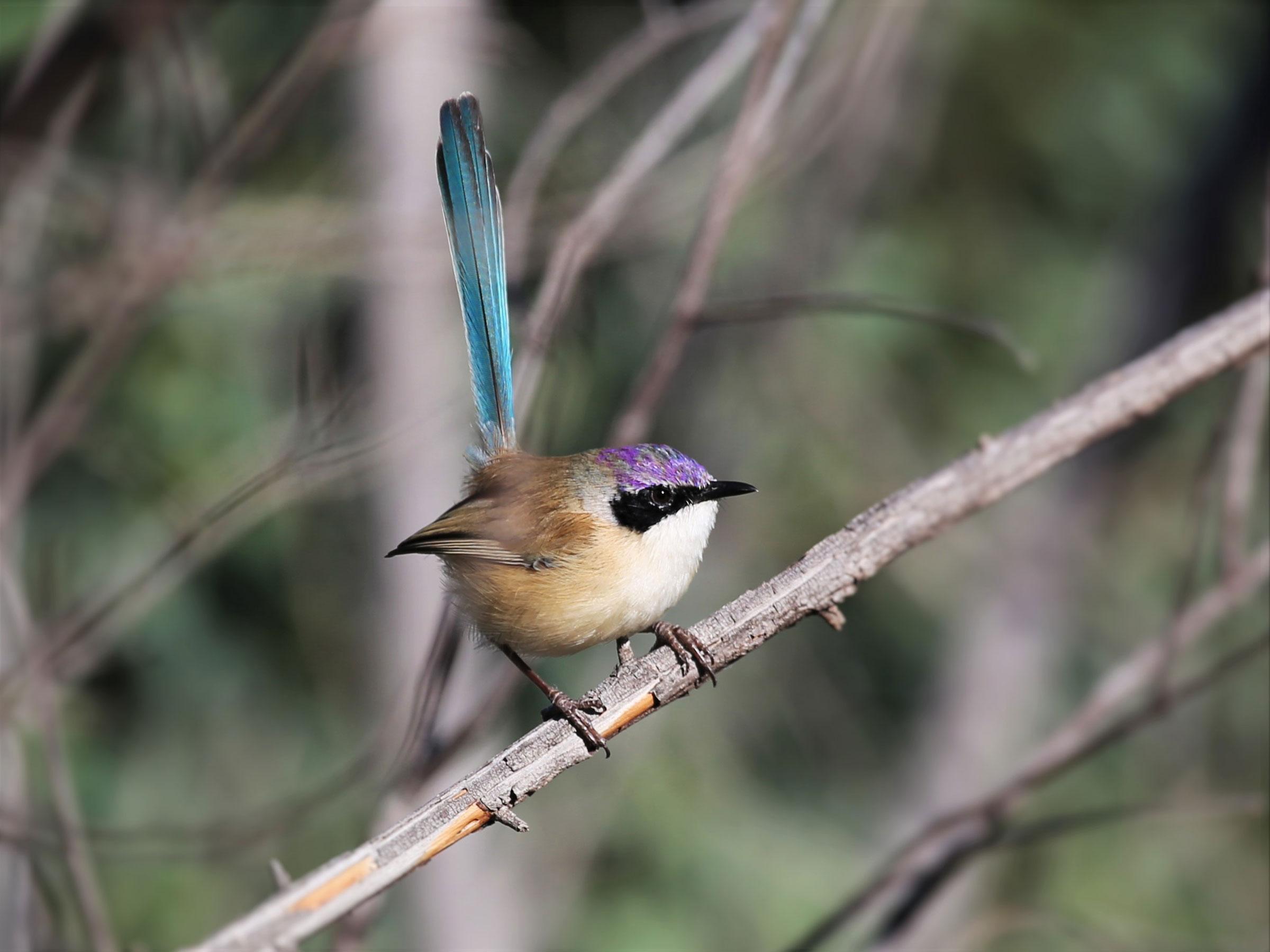"Purple-crowned Fairy-wren. <a href=""https://www.flickr.com/photos/126953422@N04/28679803251/in/photolist-iQaNq7-iQcNWL-iQcNh9-iQcMEs-KGkujp"">Graham Winterflood</a>/Flickr CC (CC BY-SA 2.0)"