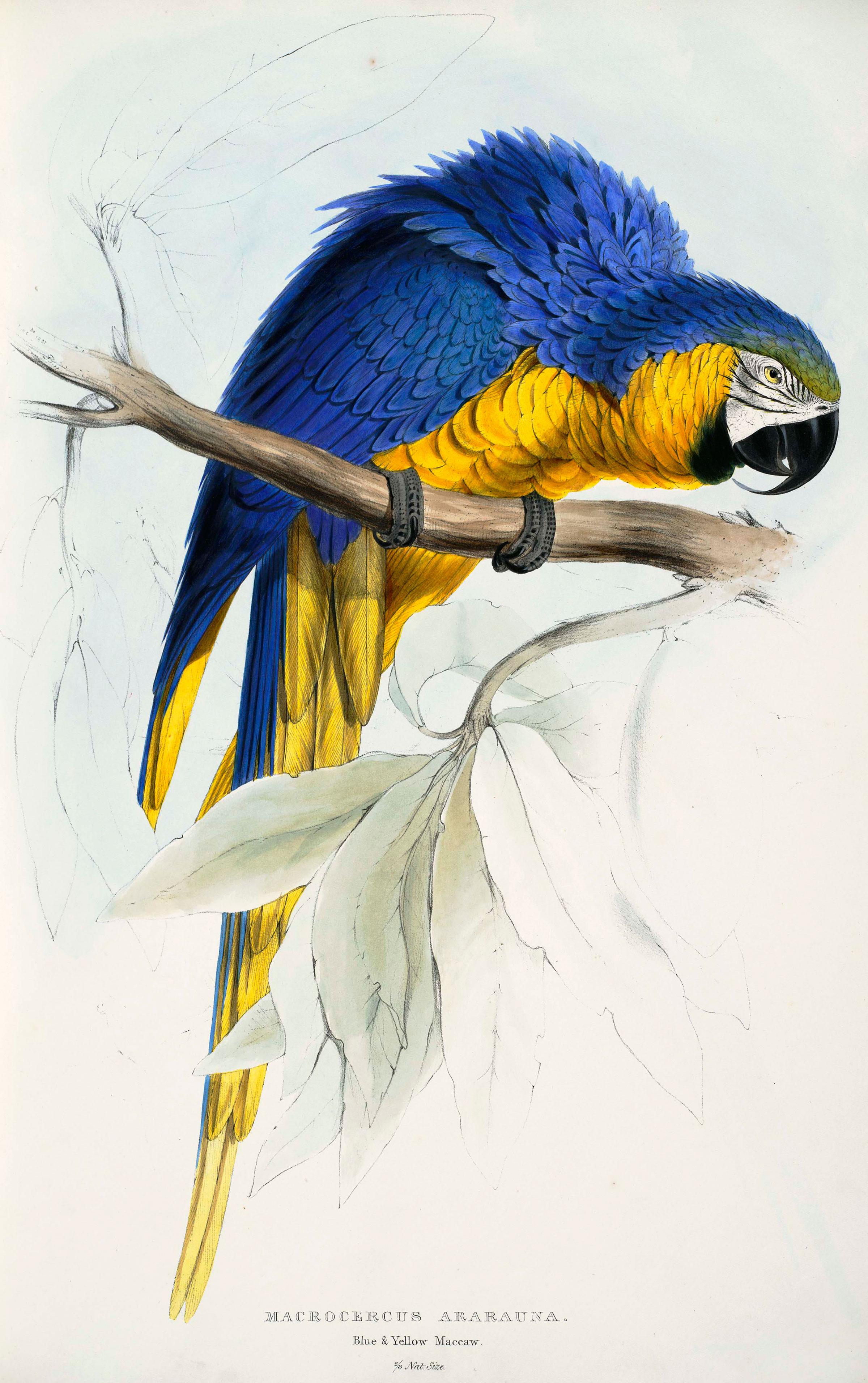 Blue and Yellow Maccaw [sic], from Illustrations of the Family of Psittacidae, or Parrots. Illustration: Edward Lear