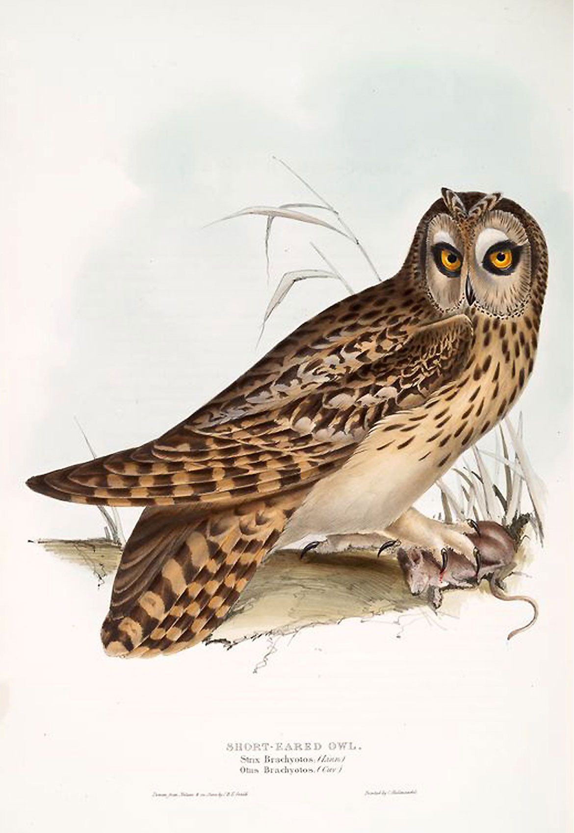 A Short-eared Owl, from Birds of Europe, Tomo 1. Illustration: John Gould