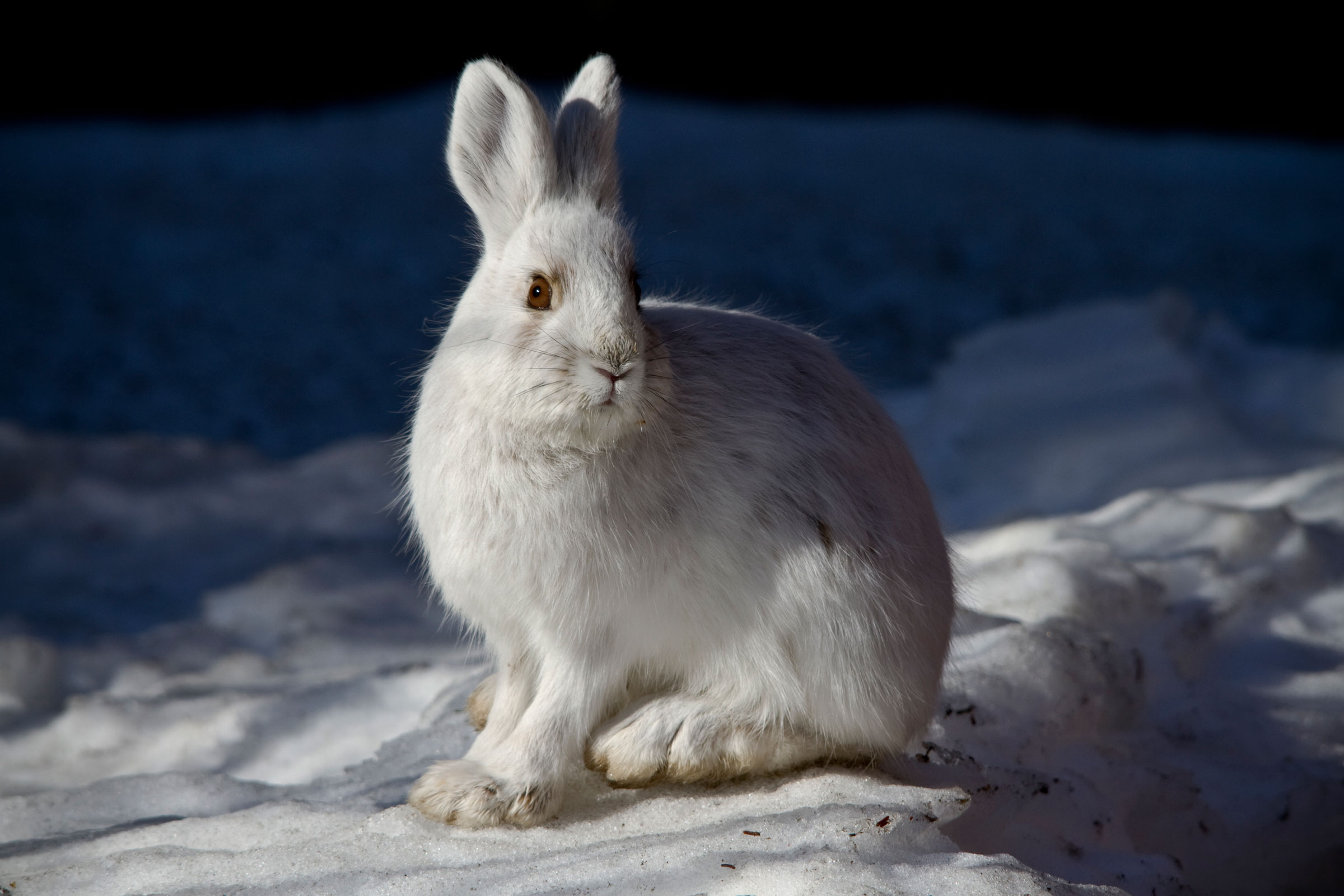 The ebb and flow of Goshawk irruptions could be tied to Snowshoe Hare population booms in Canada, but no definitive connection has been made yet. Jacob W. Frank/NPS Photo