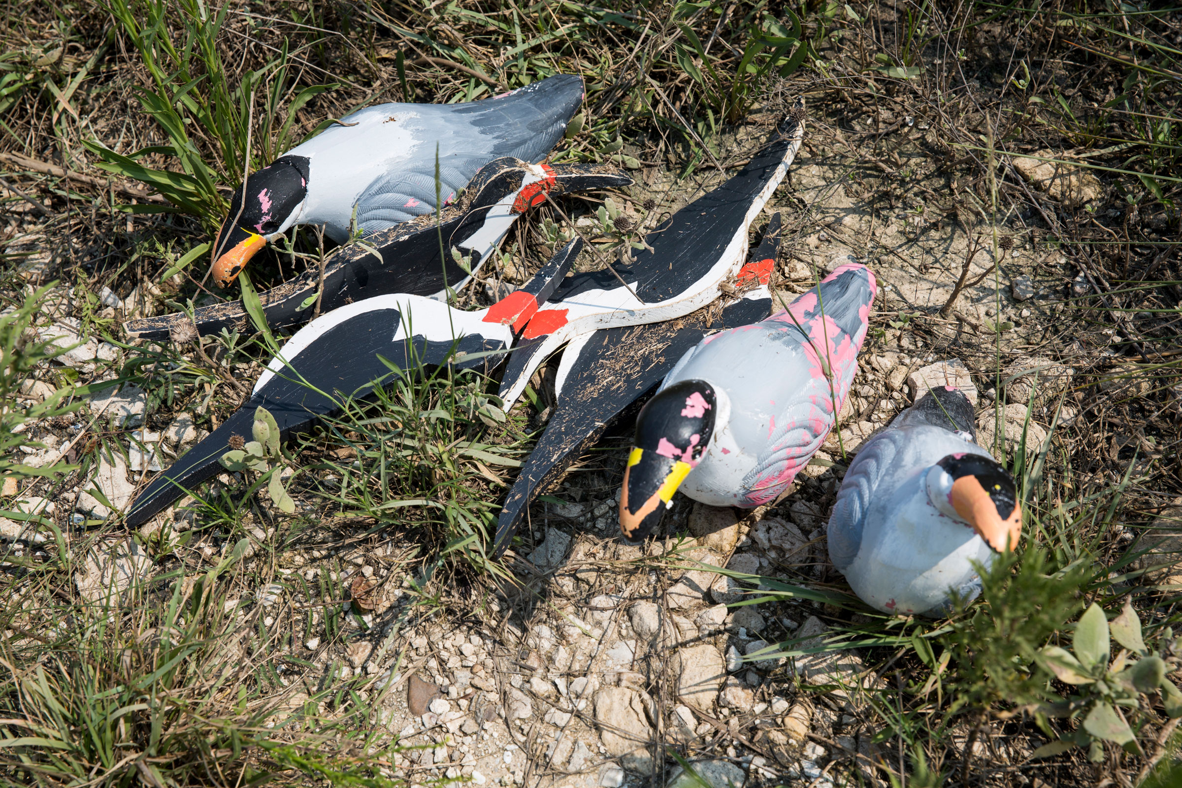 Decoys are used to attract birds like Black Skimmers and Royal Terns to new, safer nesting grounds. These decoys were blown away during the storm. Scott Dalton