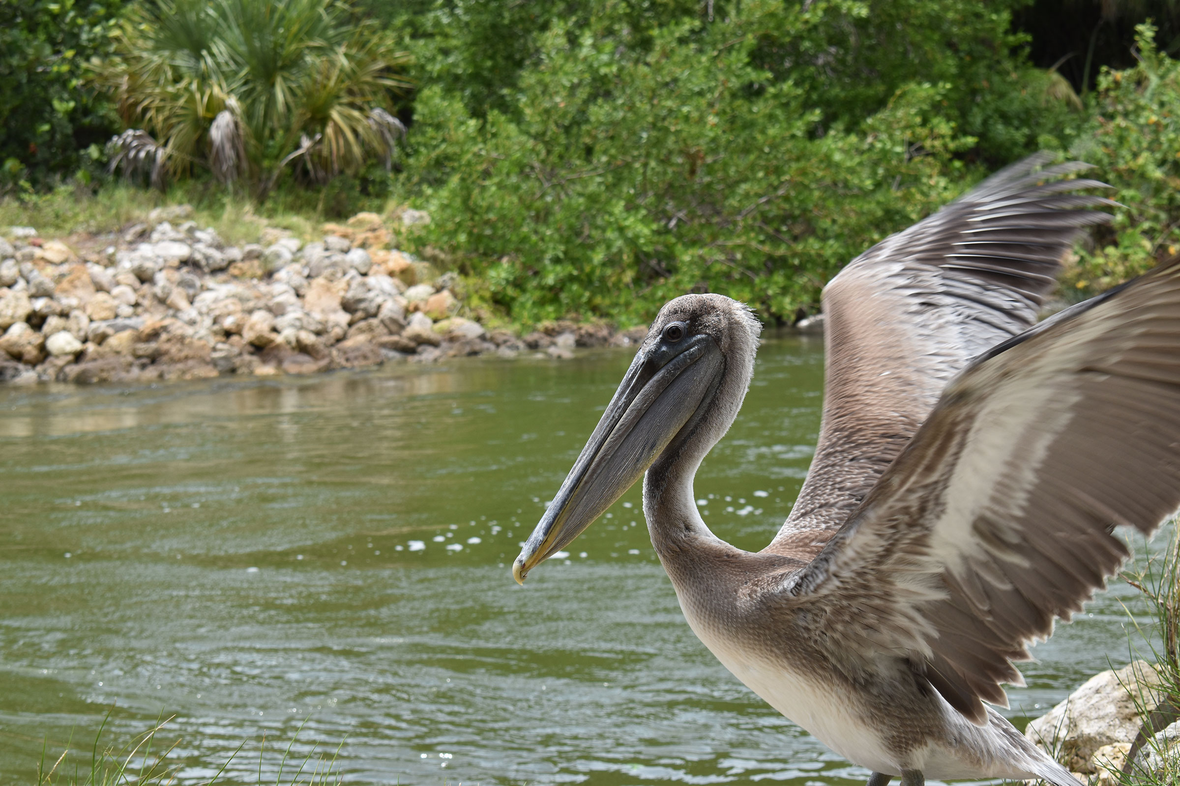 A recently released Brown Pelican stretches its wings after recovering from red tide poisoning at the Clinic for the Rehabilitation of Wildlife (CROW) on Sanibel Island. Brian Bohlman/CROW