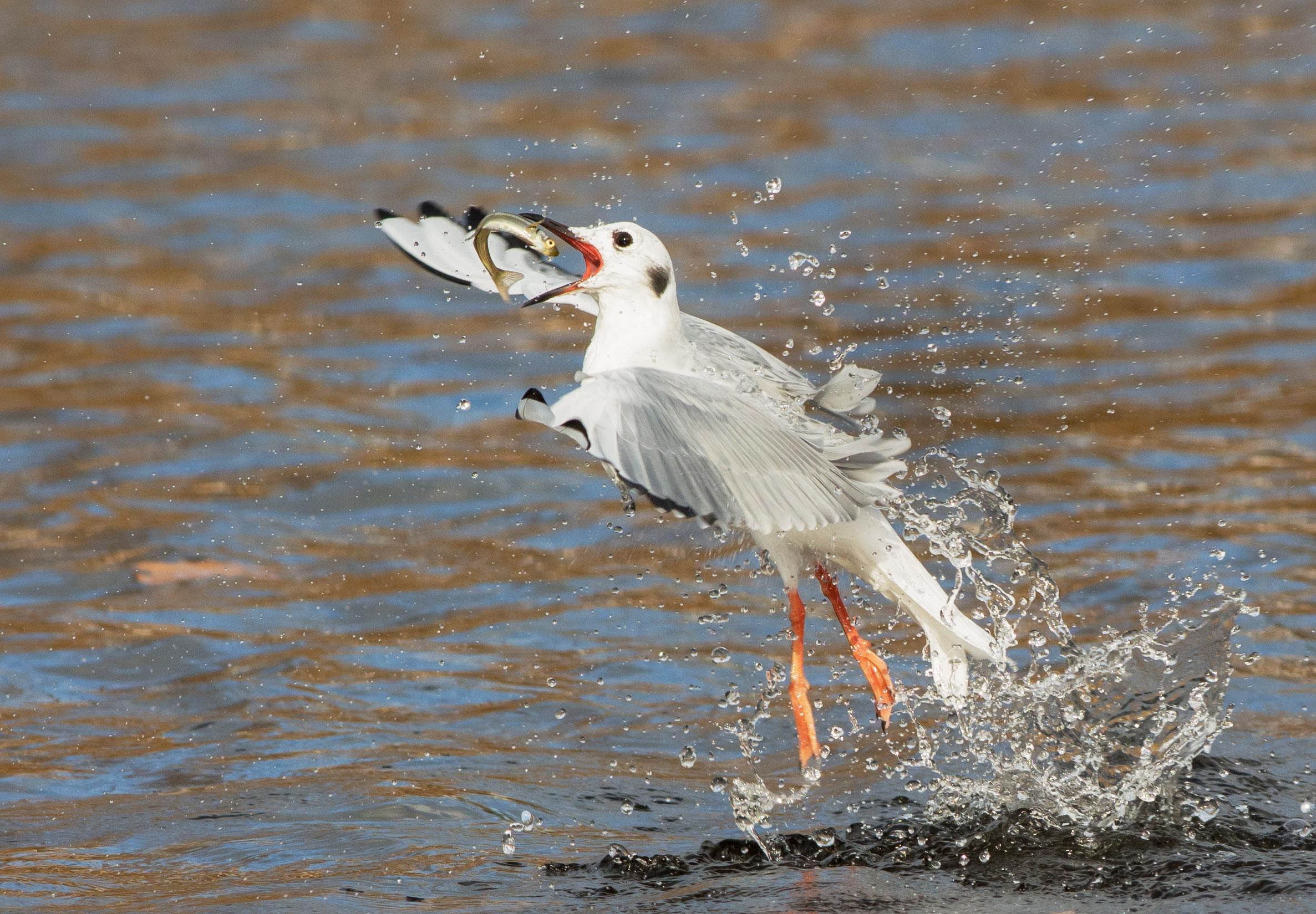 Bonaparte's Gull. Peggy Scanlan/Audubon Photography Awards