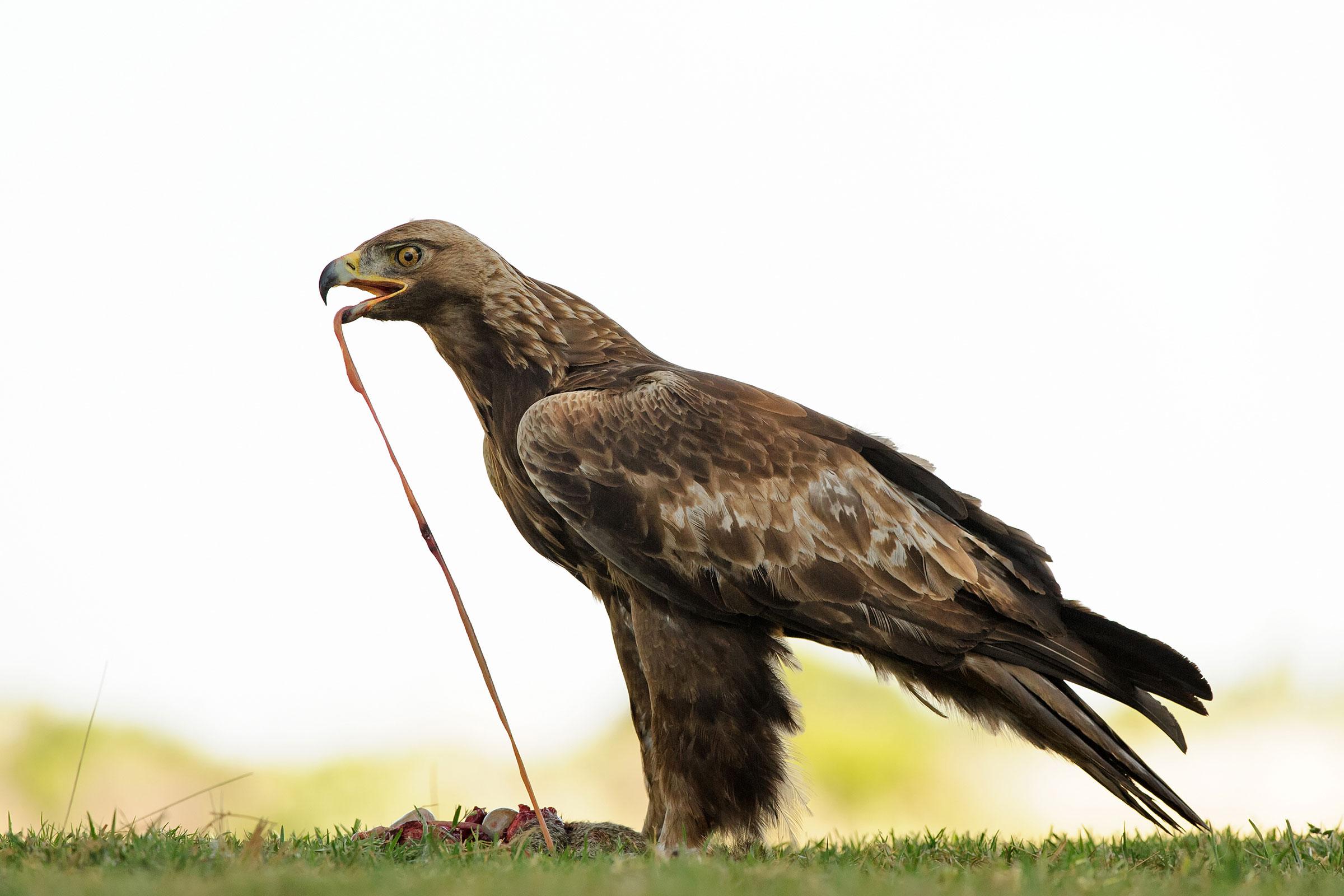 Golden Eagle. Jacqueline Deely/Audubon Photography Awards