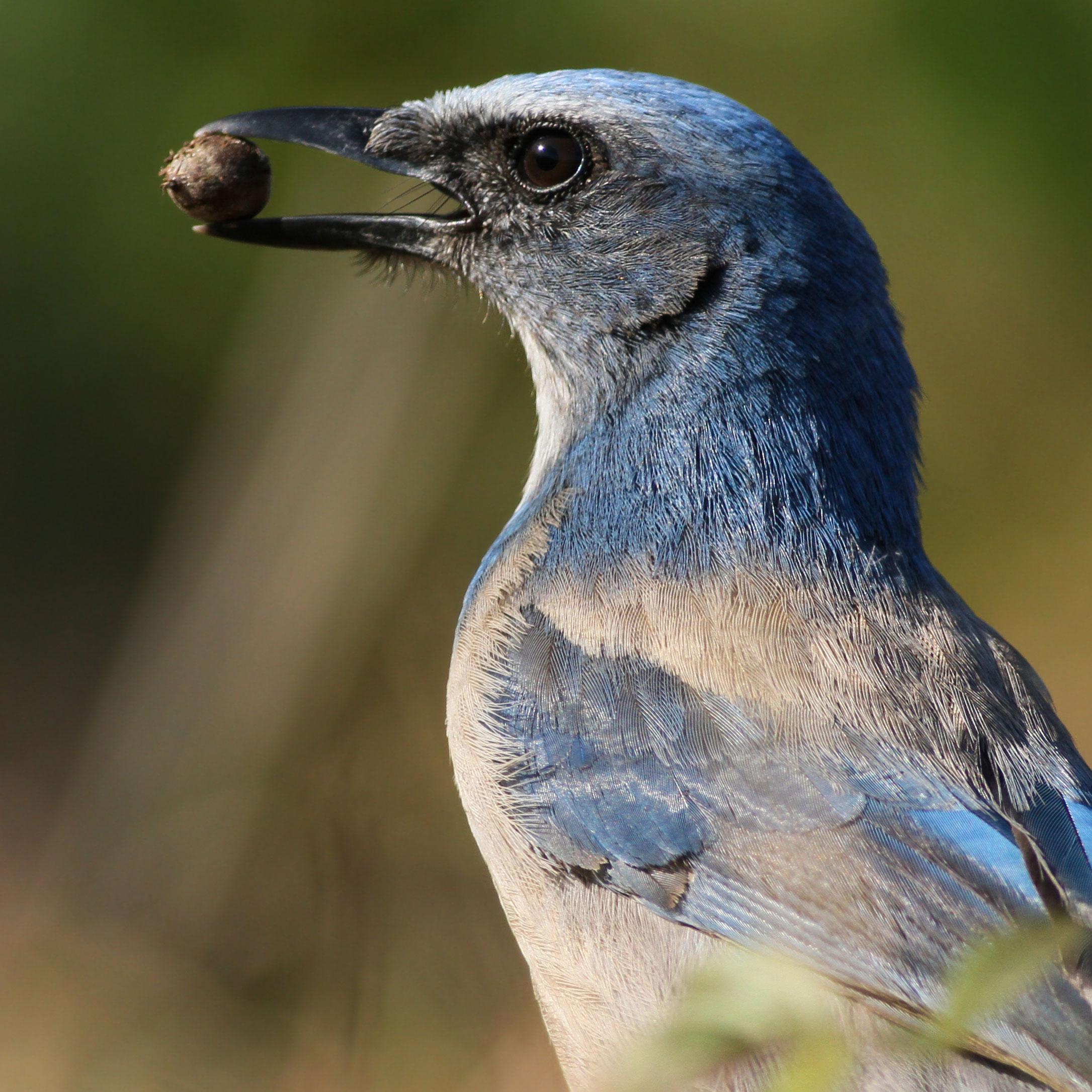 Florida Scrub-Jay eating an acorn. Sean Hollowell/Audubon Photography Awards