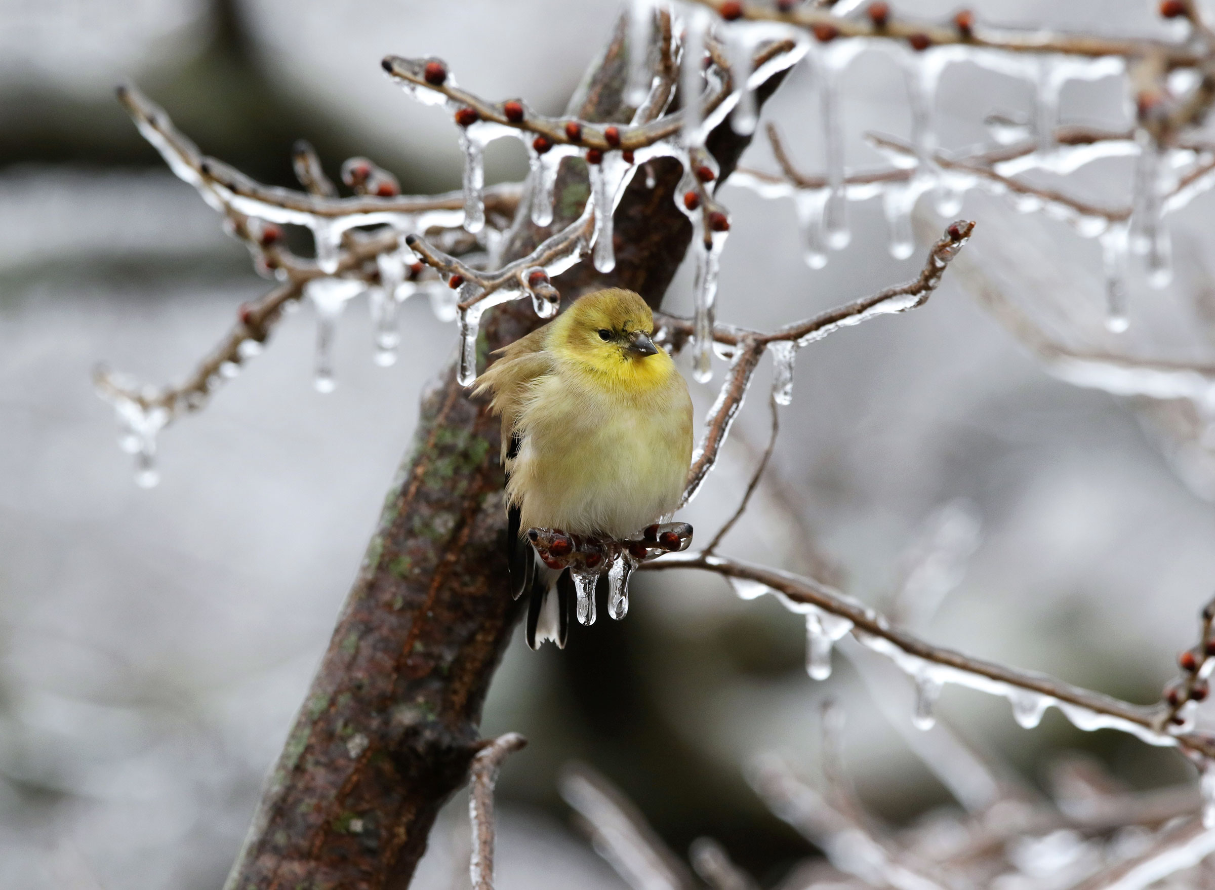 American Goldfinch. Suntesha Wustrack/Audubon Photography Awards
