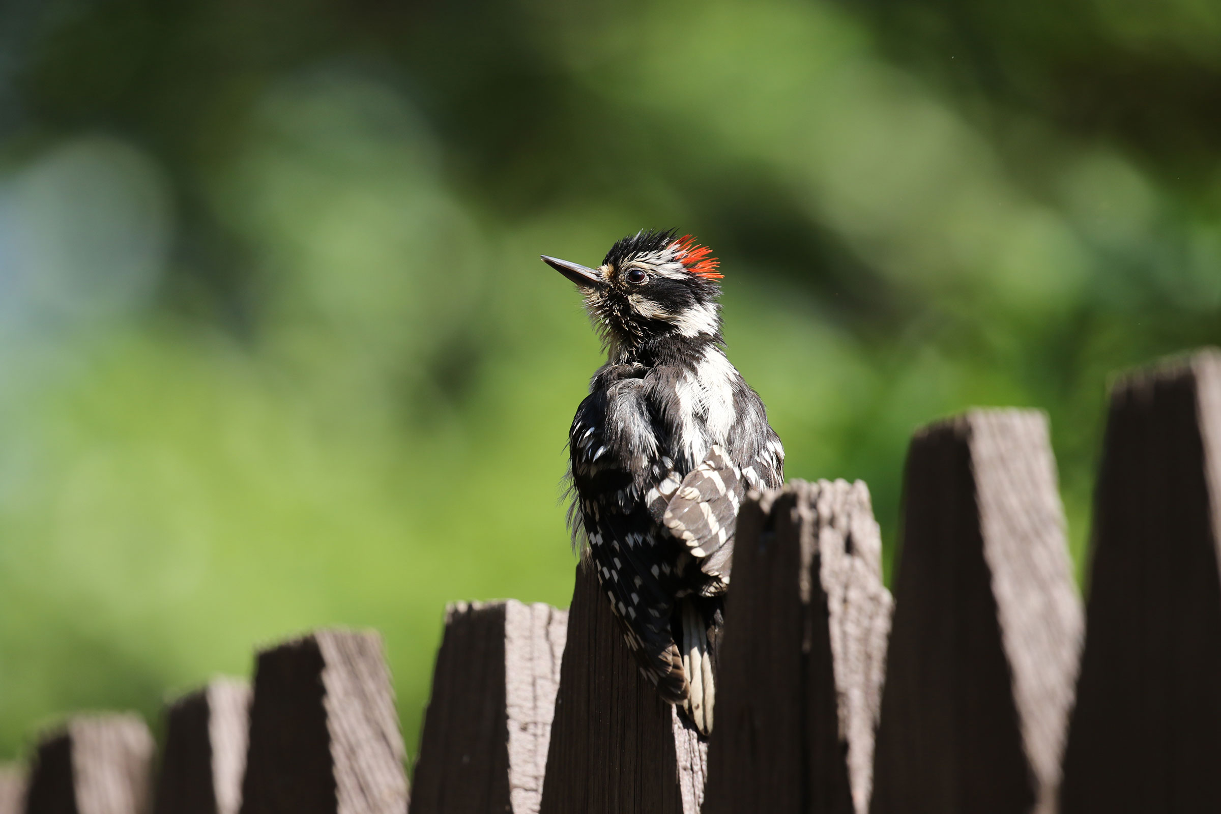 Downy Woodpecker. Sujata Roy/Audubon Photography Awards