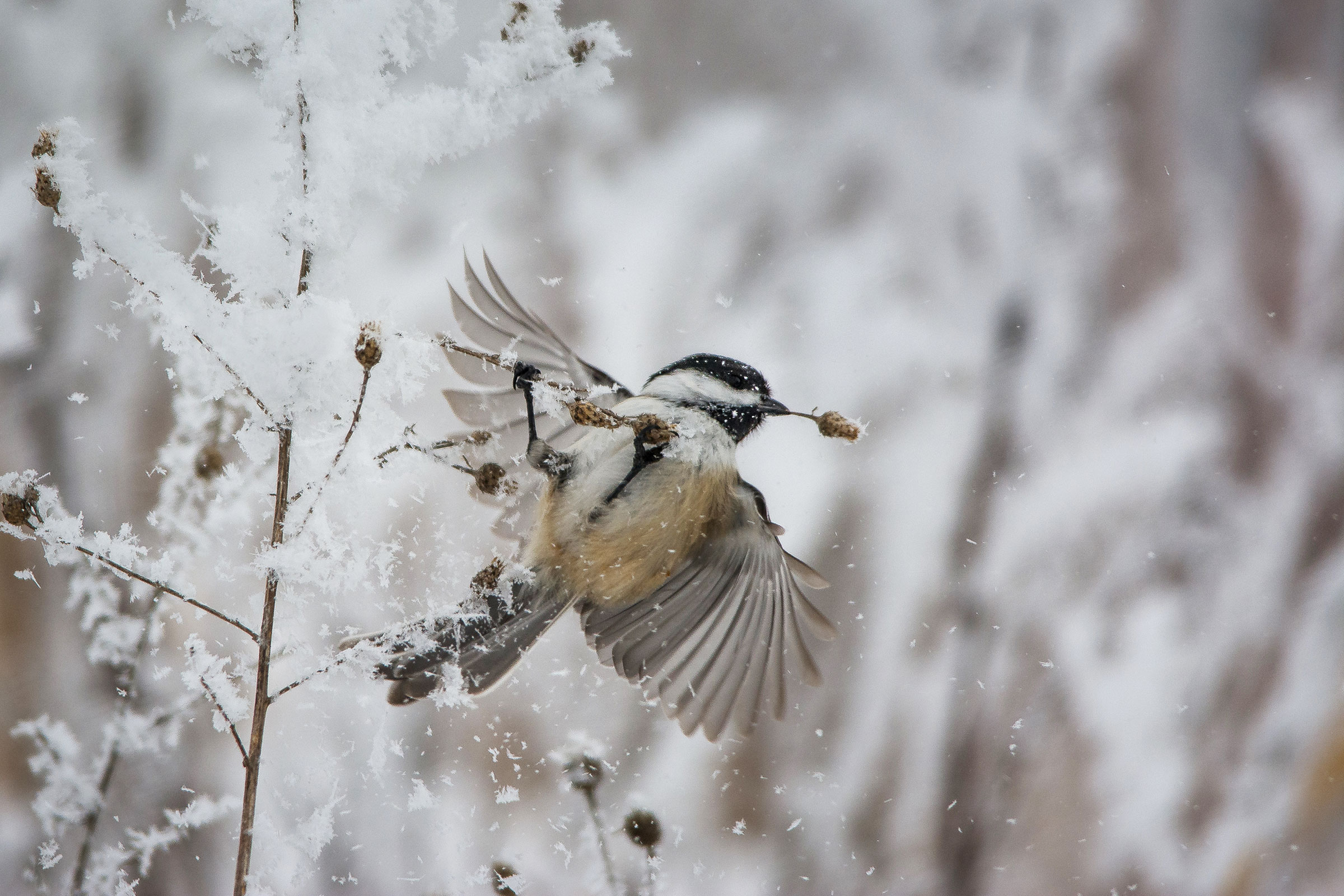 Black-capped Chickadee. Becky O'Neil/Audubon Photography Awards