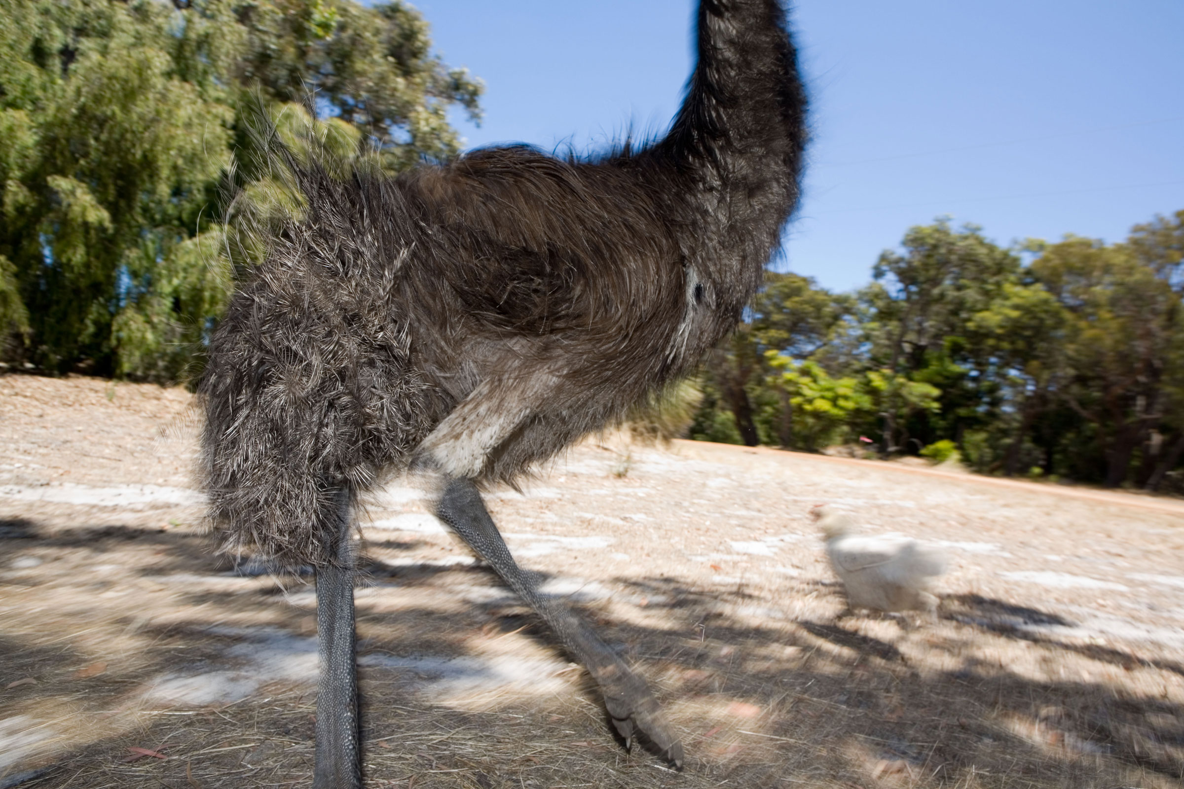 Emu. Dattatreya/Alamy
