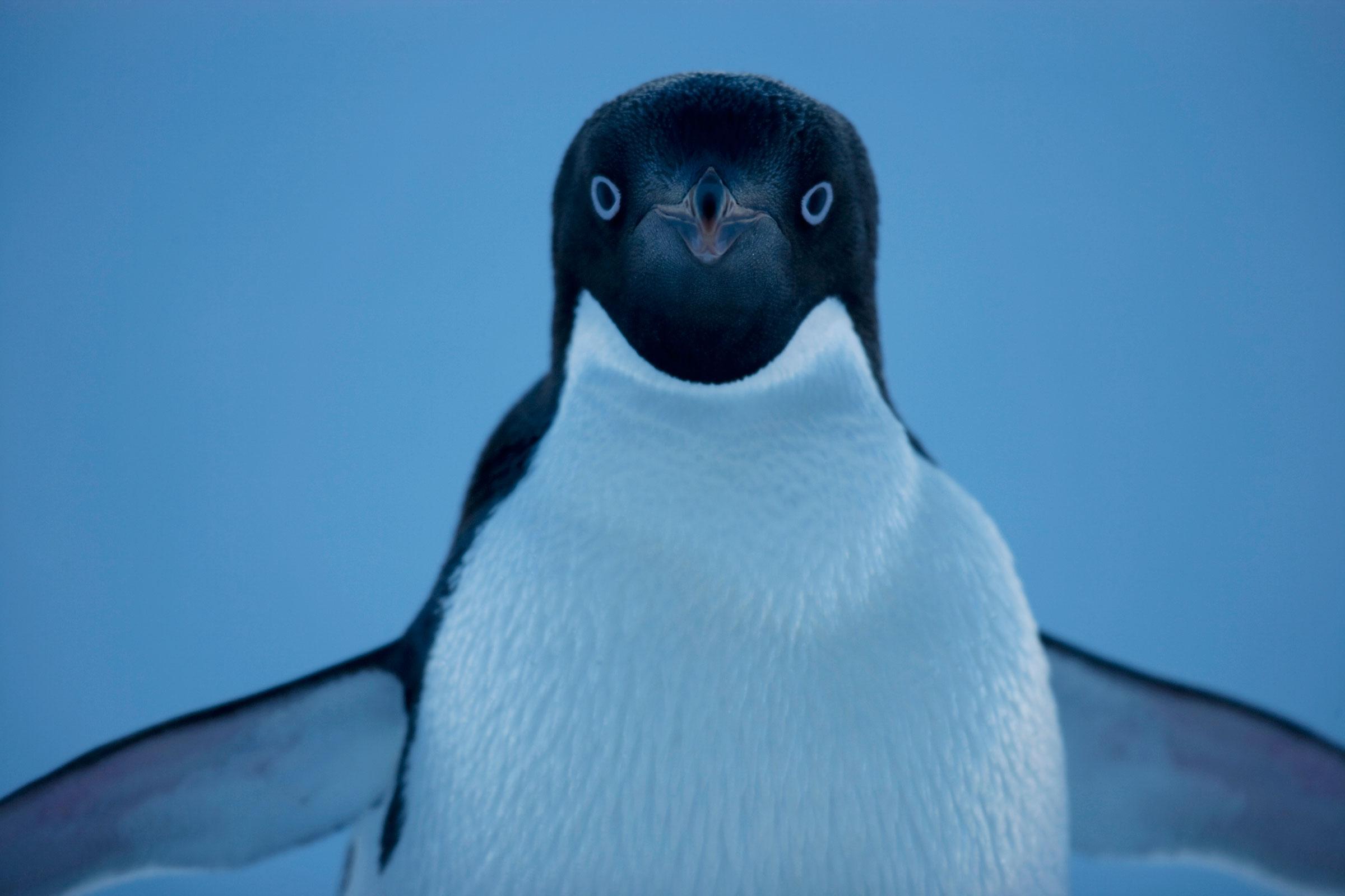Adelie Penguin. Ross Sea, Antarctica. John Weller