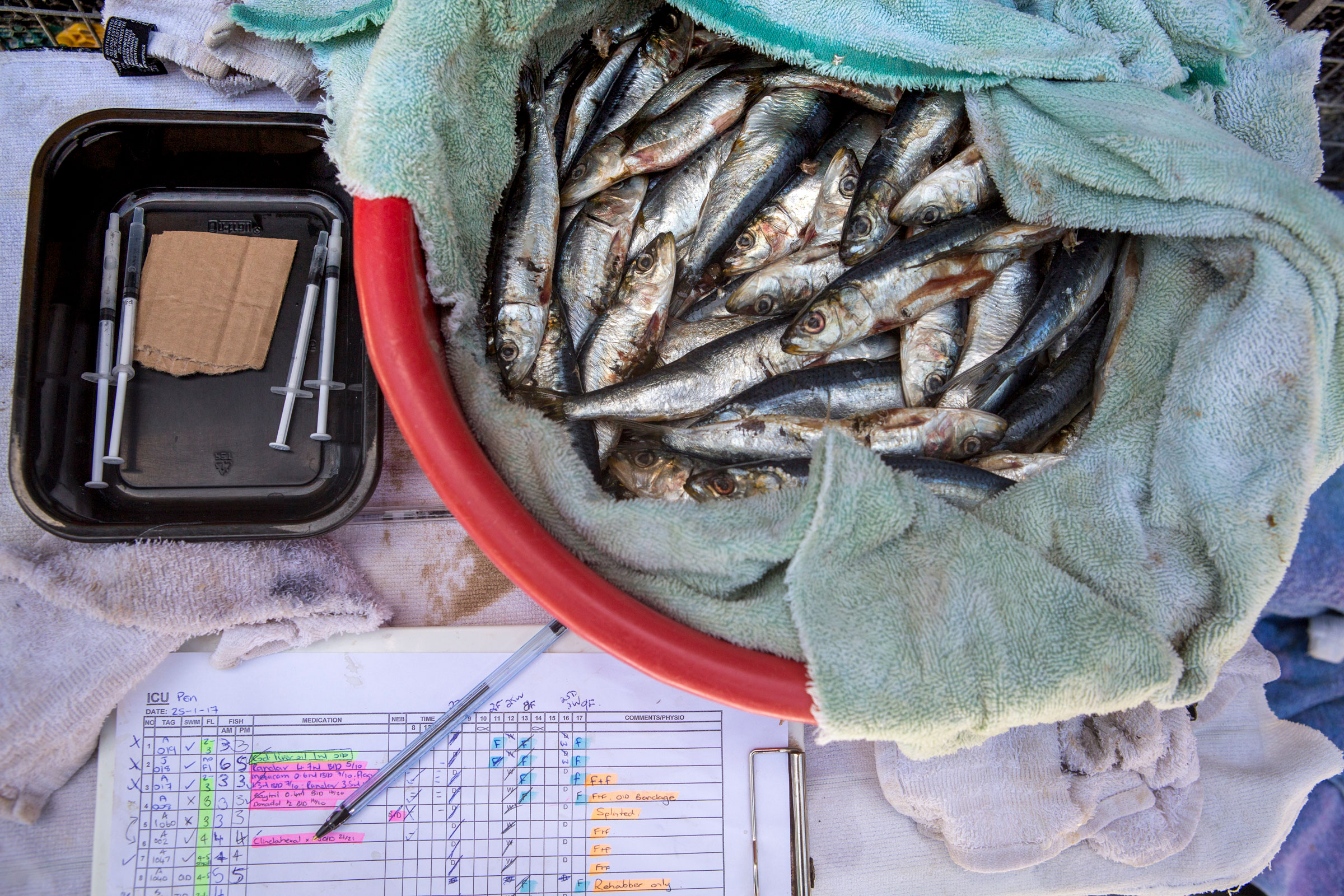 A fish breakfast and medicine are laid out for the penguins being treated for injuries at SANCCOB. Alexia Webster