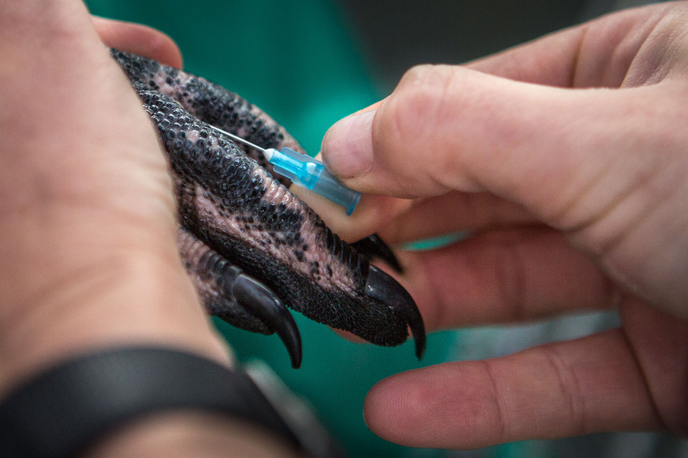 A bird rehabilitator injects an African Penguin with medicine to treated its injuries at SANCCOB. Alexia Webster