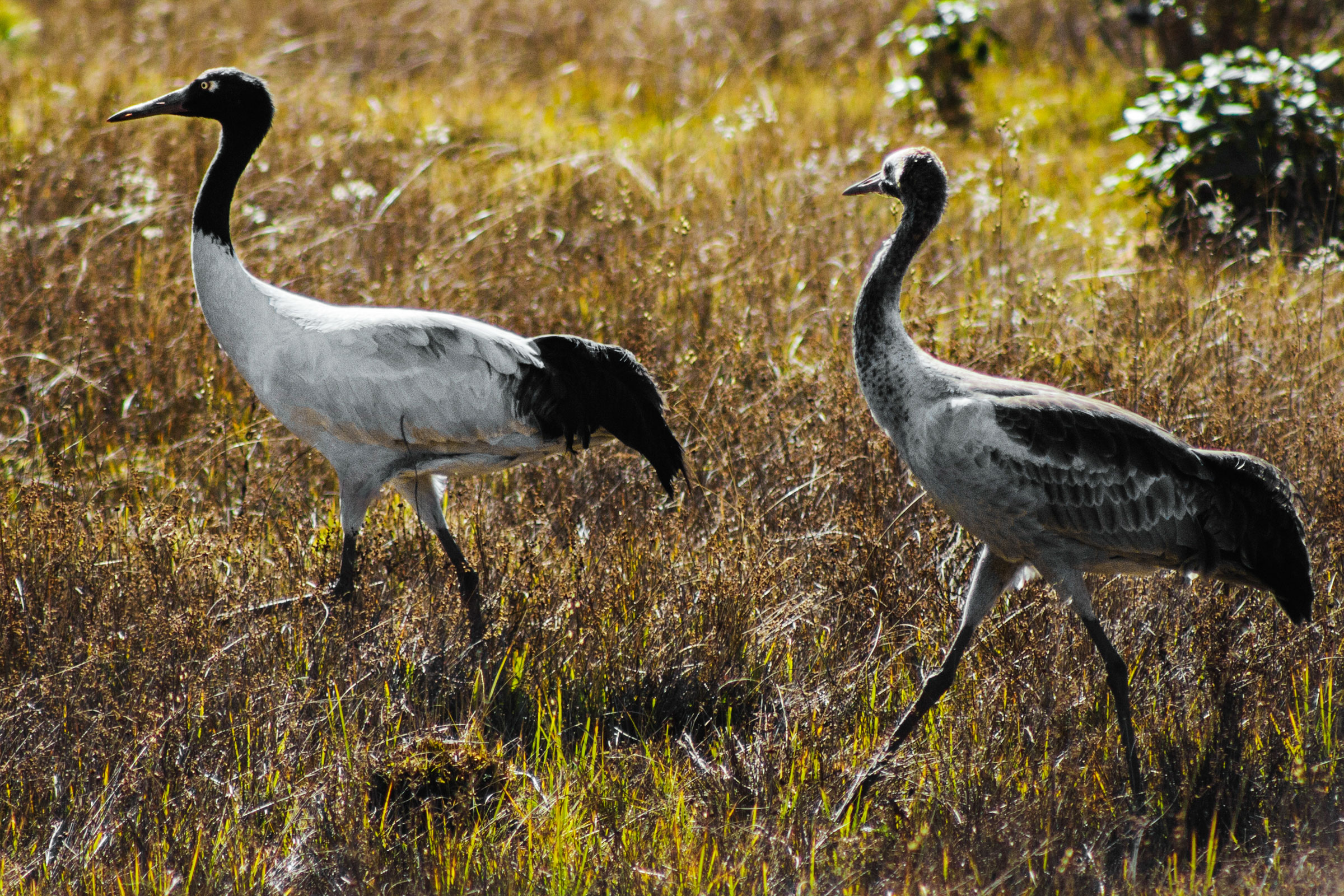 One adult and one juvenile Black-necked Crane in Phobjikha Valley. The juveniles are grayer in color. Ambika Singh