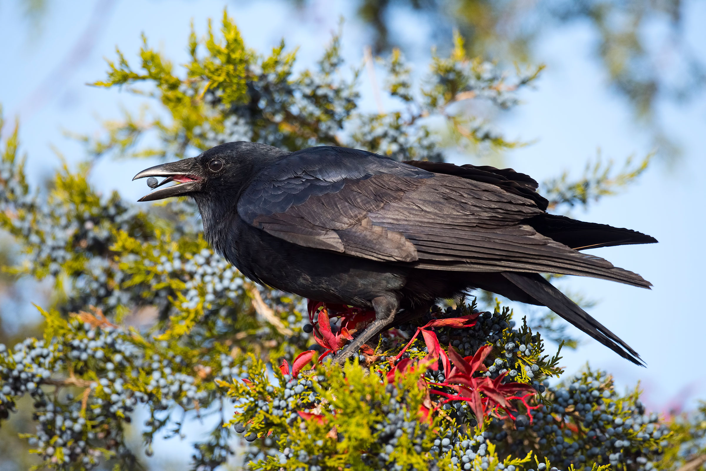 American Crow. Brian Kushner/Audubon Photography Awards