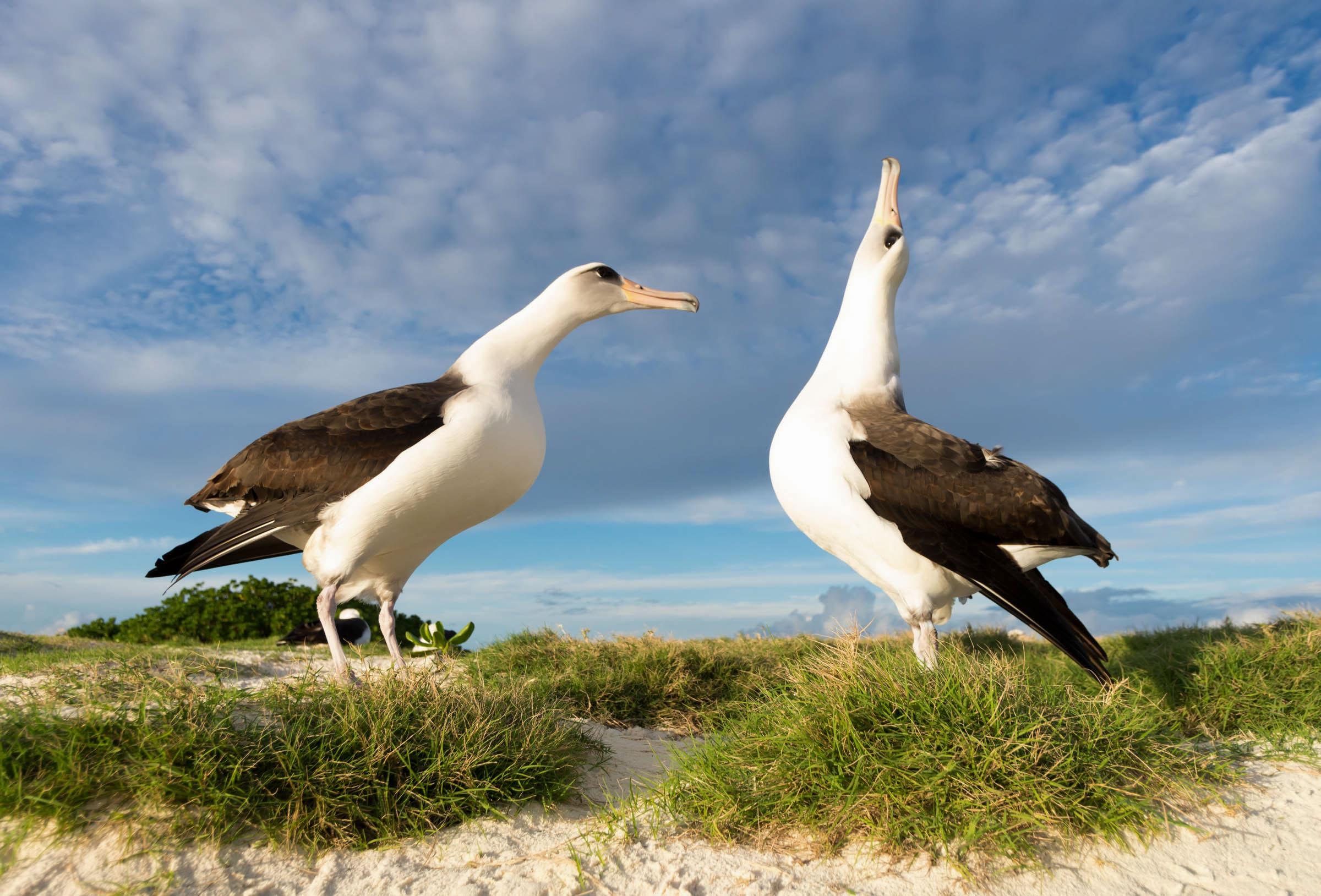 Laysan Albatross. Kat Paleckova/Audubon Photography Awards