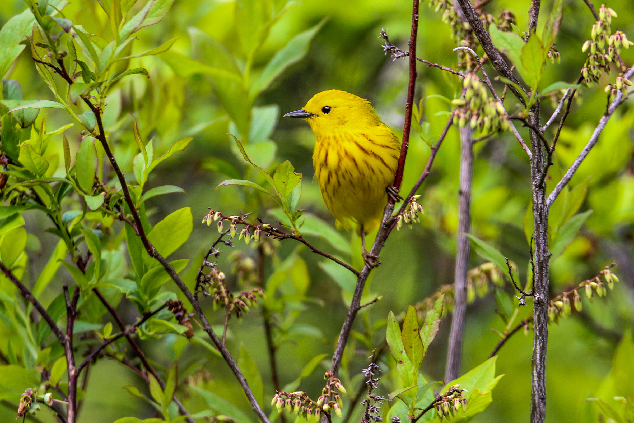 Yellow Warbler. Todd Phillippi/Audubon Photography Awards