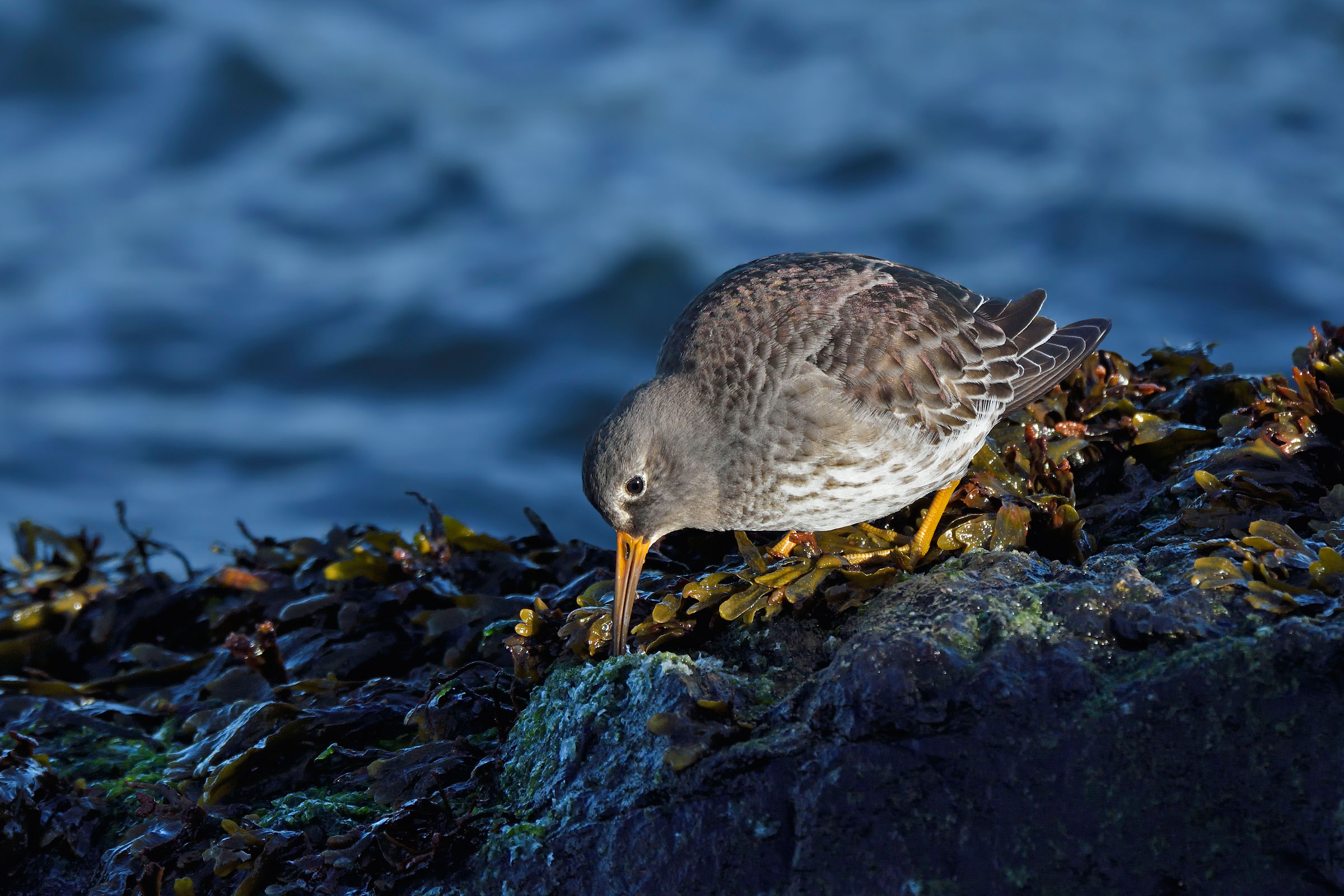 Purple Sandpipers are a prized species on the East Coast. They mostly migrate late in fall, showing up on rocky shorelines in November and staying through the winter. Bill Dix/Audubon Photography Awards