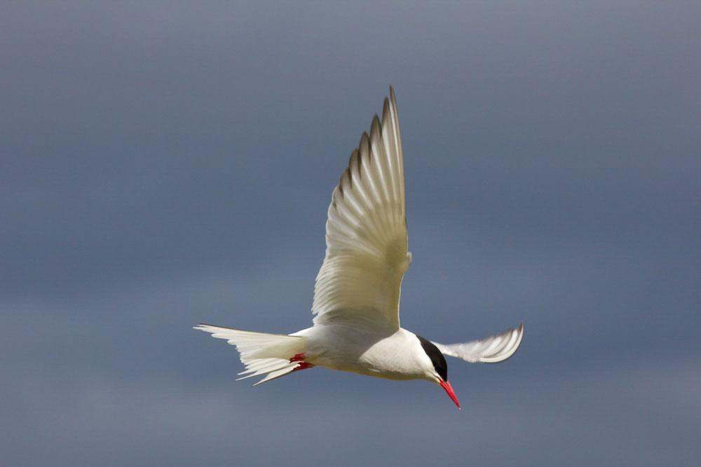 Arctic Tern. Judith Wilson/Audubon Photography Awards