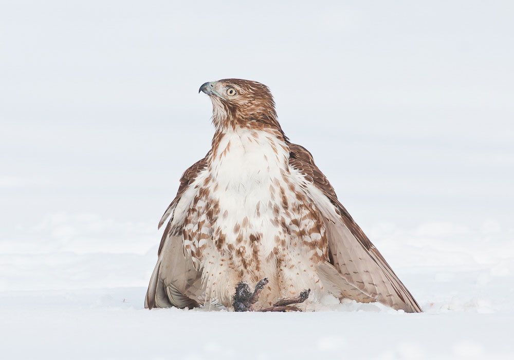 Red-tailed Hawk. Ray Whitt/Audubon Photography Awards