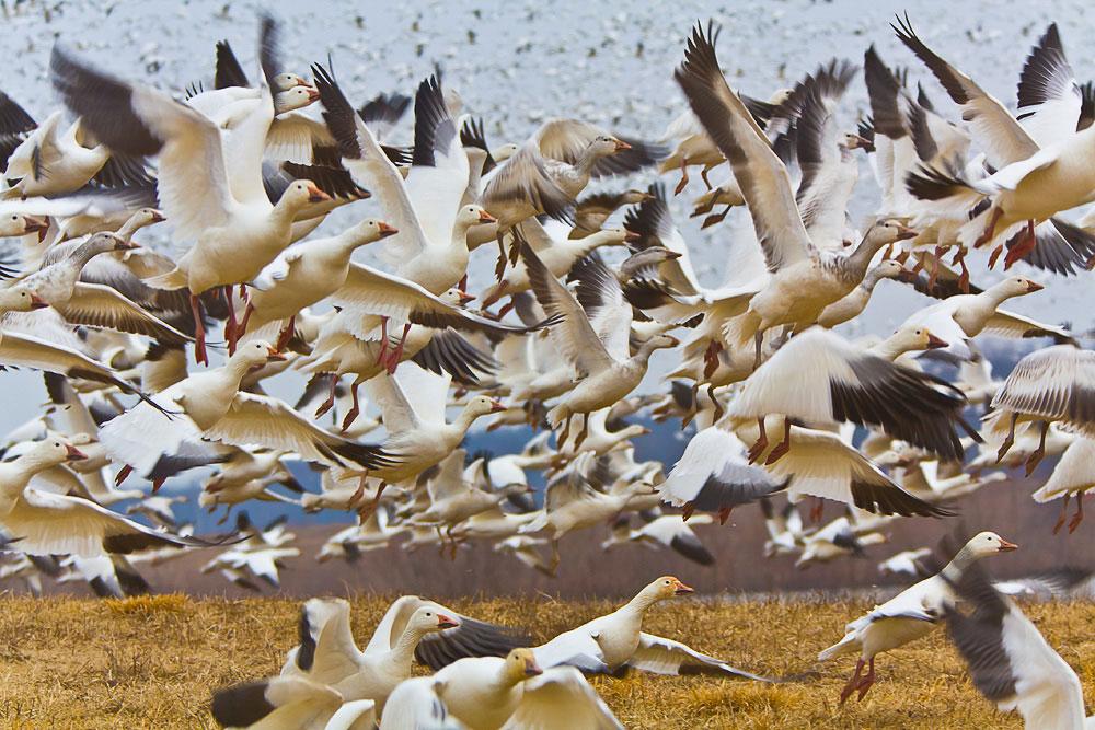 Snow Geese. Michael Gale/Audubon Photography Awards