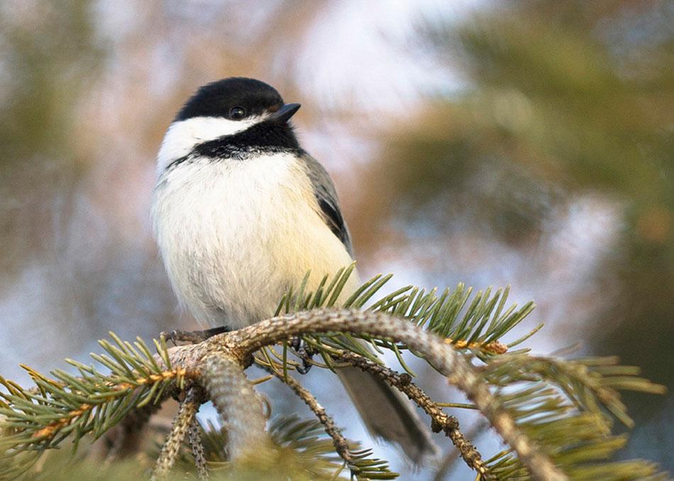 Black-capped Chickadee. Donald Grothe/Audubon Photography Awards