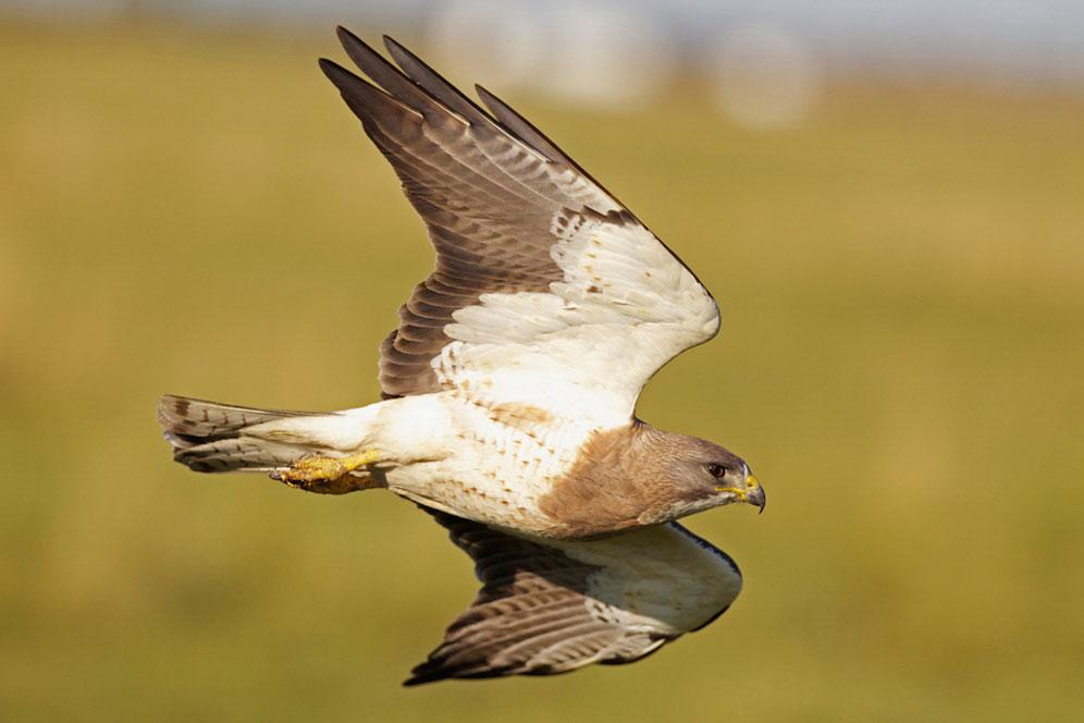 Swainson's Hawk. Mark Williams/Audubon Photography Awards
