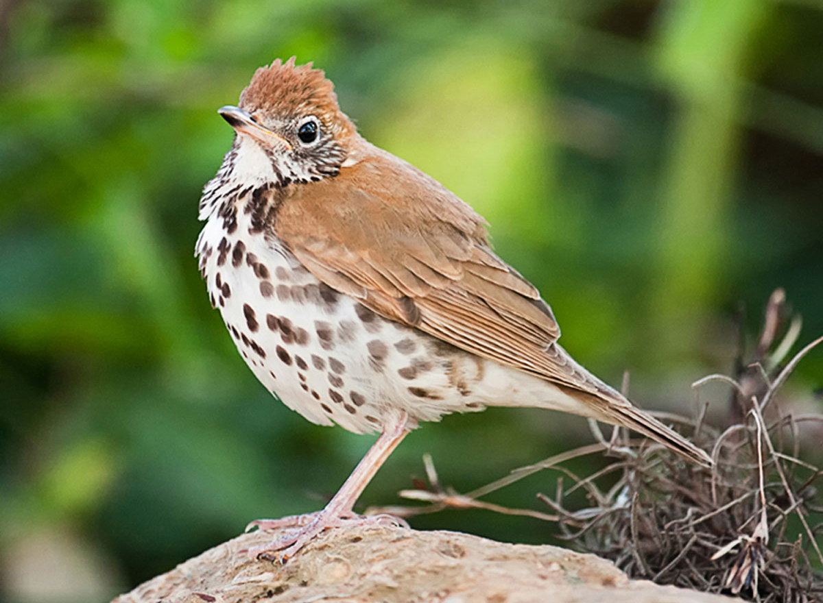 Wood Thrush. Kathy Johnston/Audubon Photography Awards