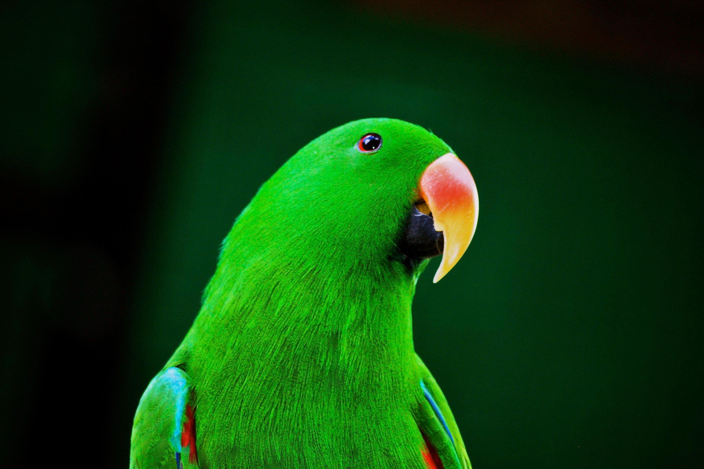 Eclectus Parrot. Joachim Vaturi/Audubon Photography Awards