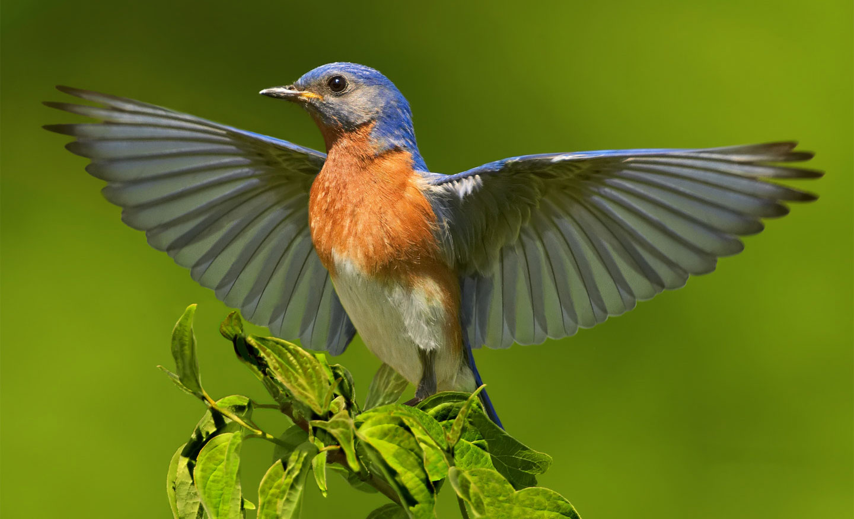 Eastern Bluebird. Jim Chagares/Audubon Photography Awards