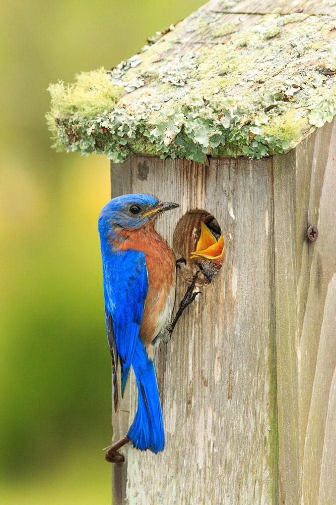 Eastern Bluebirds make use of a nest box. Hazel Erikson/Audubon Photography Awards