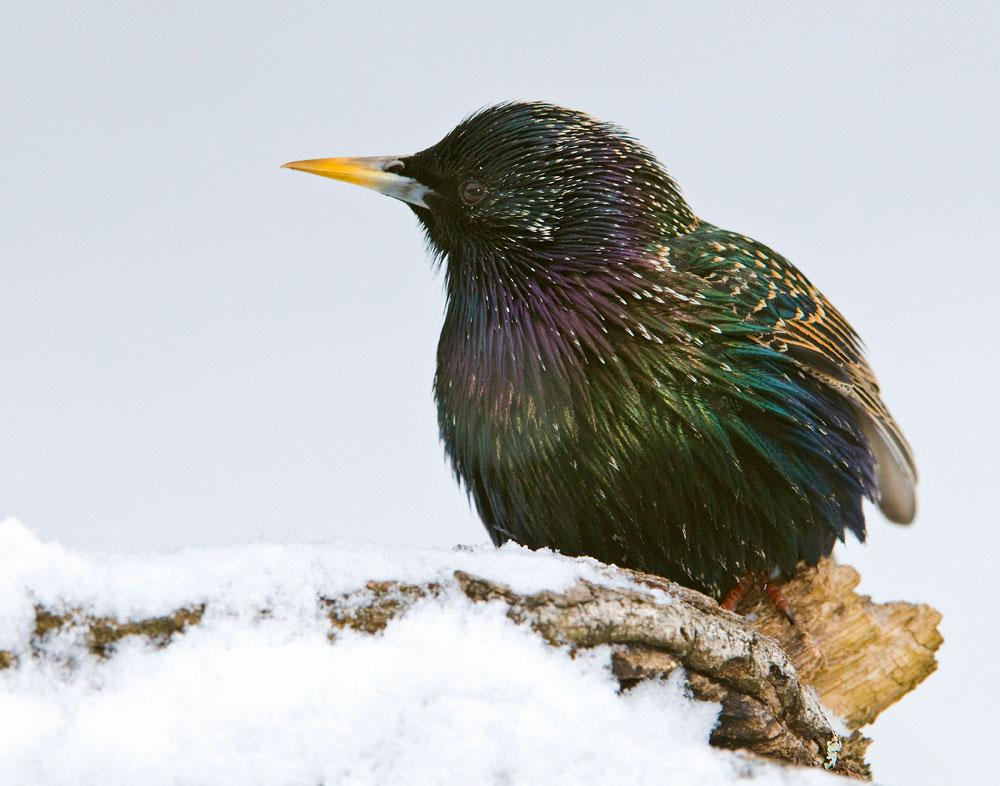 European Starling. Rolland Swain/Audubon Photography Awards