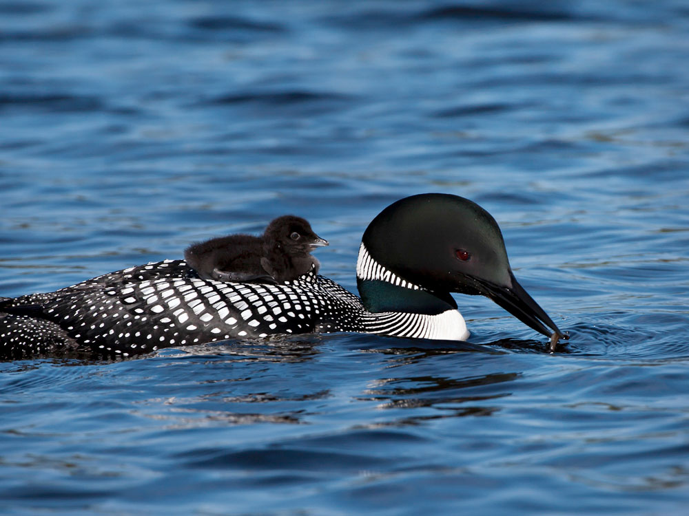 Lead tackle has been especially detrimental for the Common Loon. The neurotoxic effects can lead to the shutdown of major organs in the bird's body. Richard Pick/Audubon Photography Awards