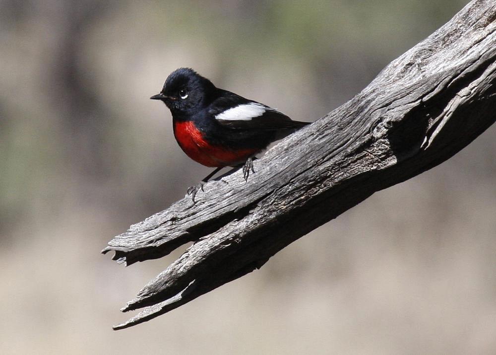 Painted Redstart. Theresa Bayoud/Audubon Photography Awards