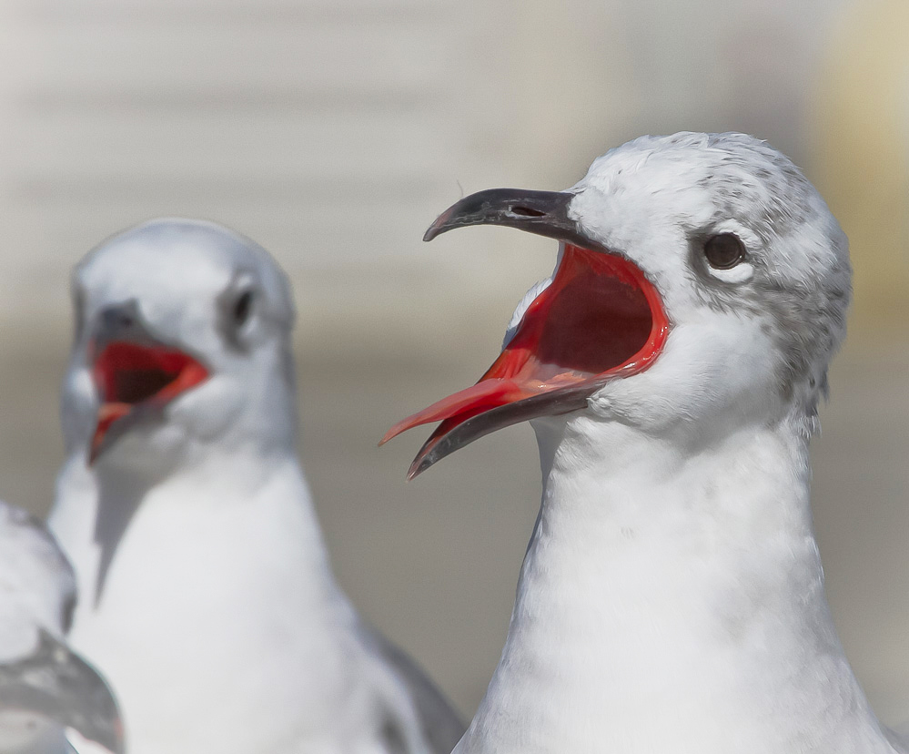 Laughing Gulls cackle at your pedantry! Philip Sidran/Audubon Photography Awards