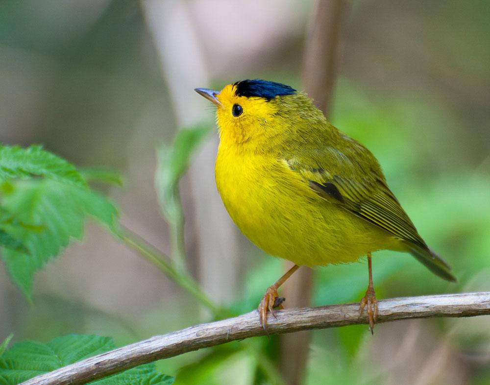 Wilson's Warbler. Heather Roskelley/Audubon Photography Awards