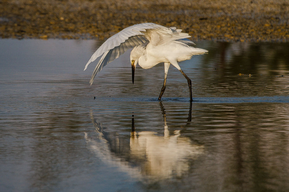 Reddish Egret. Lorraine Minns/Audubon Photography Awards