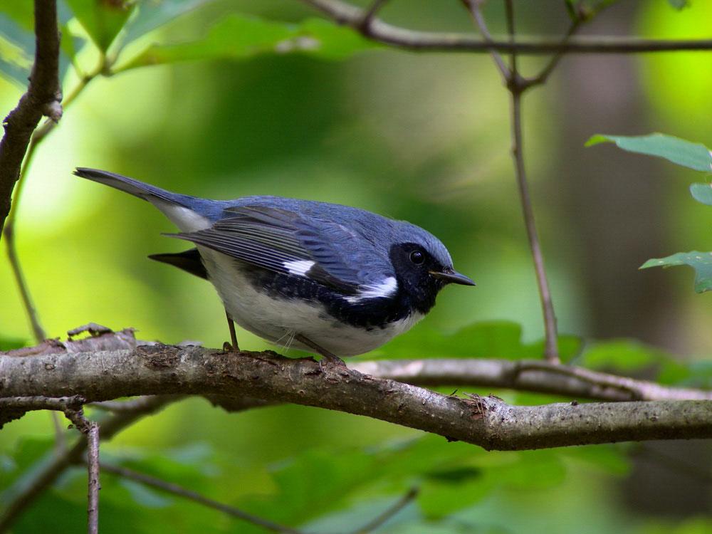 Black-throated Blue Warbler. Megumi Aita/Audubon Photography Awards