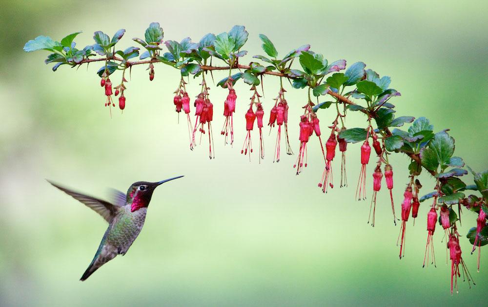 Anna's Hummingbird. Rick Derevan/Audubon Photography Awards