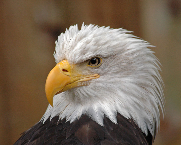 Bald Eagle. Clyde Dexter/Audubon Photography Awards