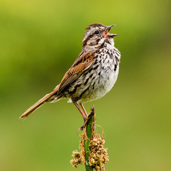 Song Sparrows are among the species that indicate a restored meadow is healthy. Pat Ulrich/Audubon Photography Awards