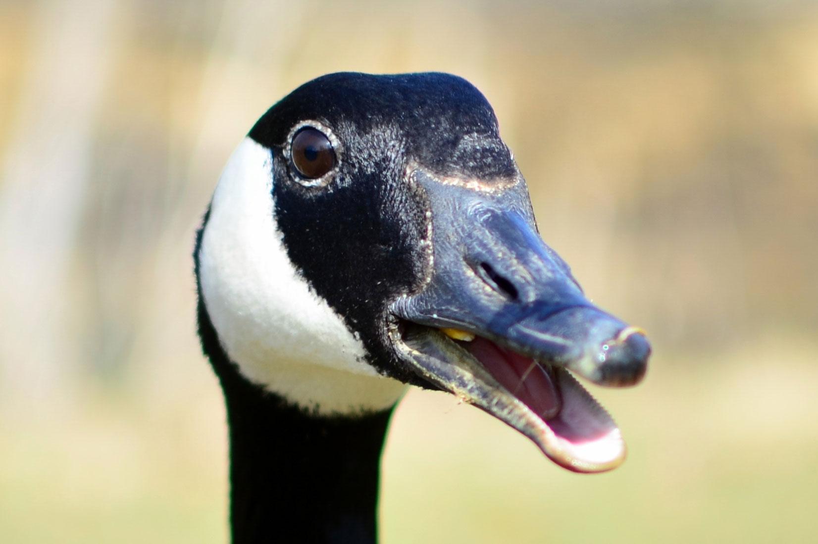 Canada Goose. Benjamin Schelling/Audubon Photography Awards