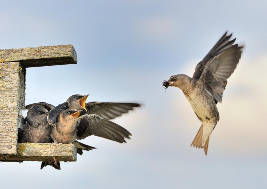 Purple Martins. Leslie Scopes Anderson/Audubon Photography Awards