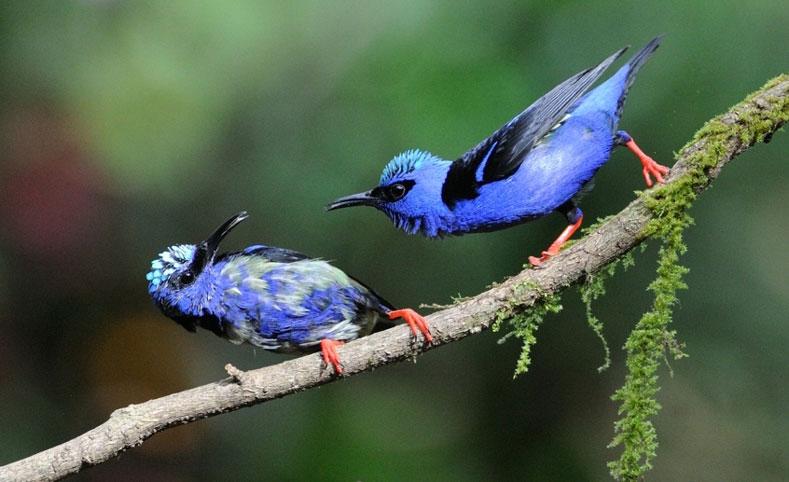 Red-legged Honeycreeper. Leslie Scopes Anderson/Audubon Photography Awards