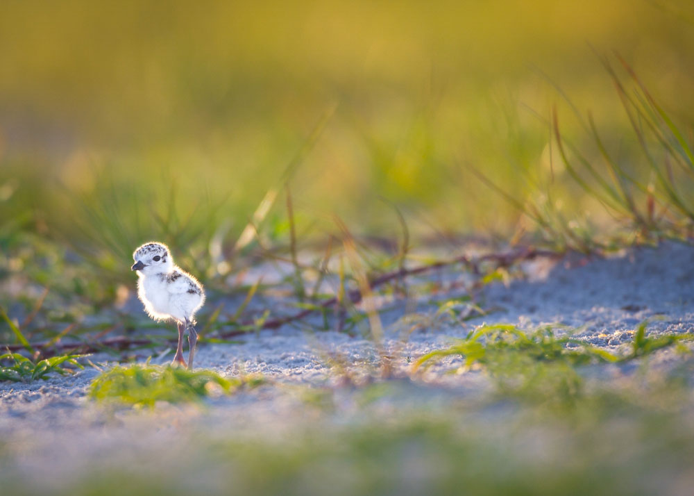 Snowy Plover. Dennis Goodman/Audubon Photography Awards