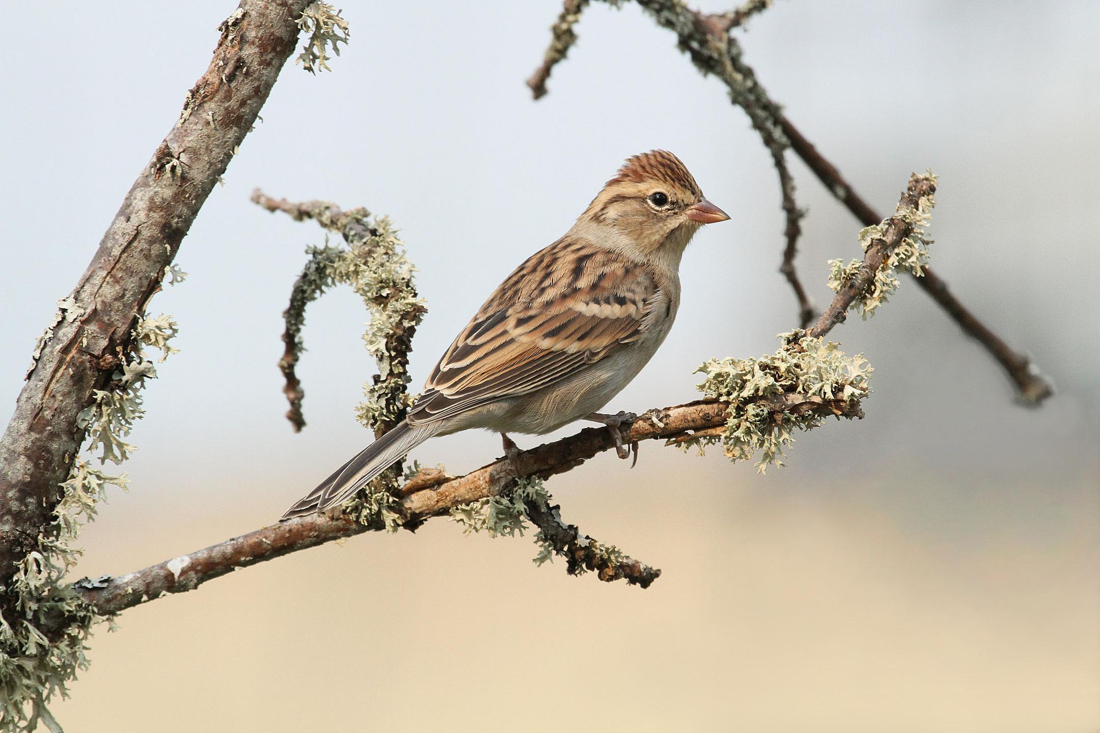 Chipping Sparrow. Roger Baker/Audubon Photography Awards