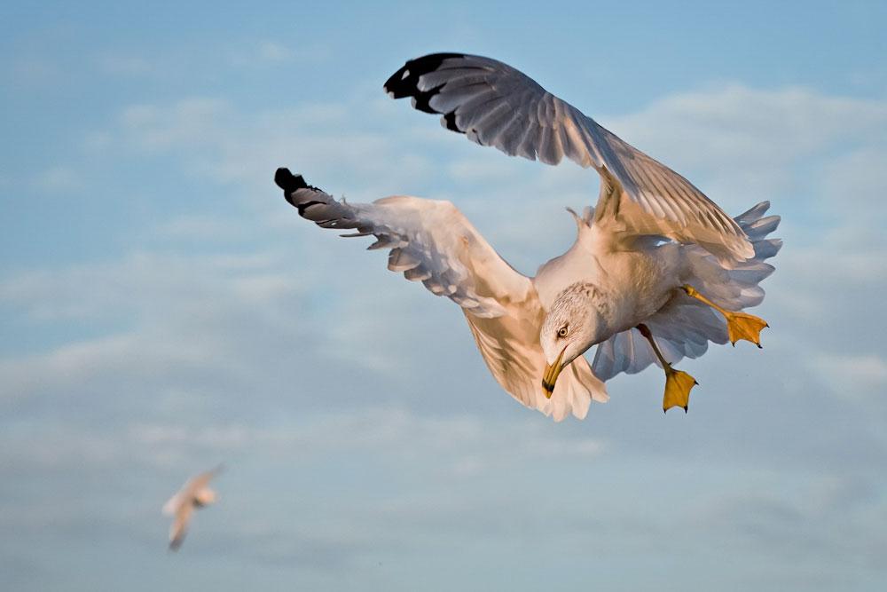 Ring-billed Gull. Melissa Groo/Audubon Photography Awards
